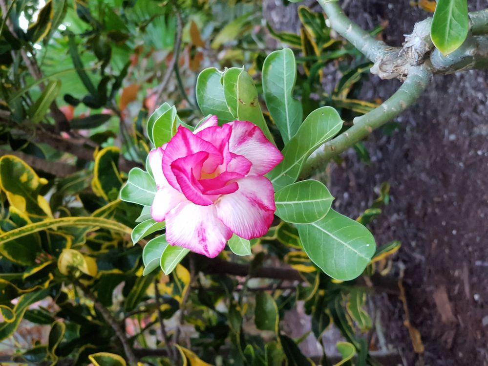 Bahamas Flower.jpg