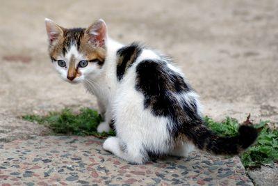 Six_weeks_old_cat_(aka).jpg