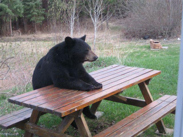 picnic_table_bear.jpg